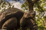 Galapagos Giant Tortoise, Santa Cruz Island  11