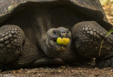 Galapagos Giant Tortoise, Santa Cruz Island  22