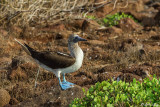Blue-footed Booby, North Seymour Island  6