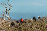 Frigate Birds, North Seymour Island  1