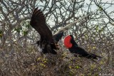 Frigate Birds, North Seymour Island  5