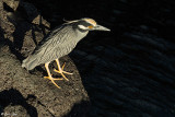 Night Heron, Santiago Island  1