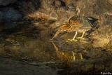 Striated Heron, Santiago Island  1