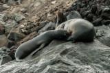 Galapagos Sea Lions, Isabella Island  1