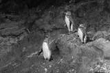 Galapagos Penguins, Isabella Island  3