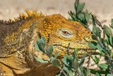 Land Iguana, North Seymour Island  10