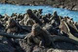 Marine Iguanas, Fernandina Island  4