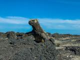 Marine Iguanas, Fernandina Island  13
