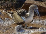 Blue-footed Booby, North Seymour Island  1