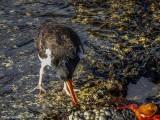 Oyster Catcher, Santiago Island  4