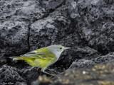 Warbler, Santiago Island  1