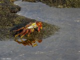 Sally Light-foot Crab, Santiago Island  1