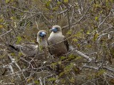 Red-footed Booby, San Cristobal Island  1