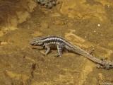 Lava Lizard, San Cristobal Island  2