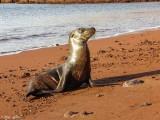 Galapagos Sea Lion, Rabida Island  6