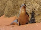 Galapagos Sea Lion, Rabida Island  7