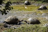 Giant Galapagos Tortoise, Santa Cruz Island  2