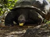 Giant Galapagos Tortoise, Santa Cruz Island  5