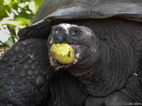 Giant Galapagos Tortoise, Santa Cruz Island  7