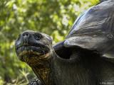 Giant Galapagos Tortoise, Santa Cruz Island  1