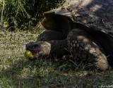Giant Galapagos Tortoise, Santa Cruz Island  15