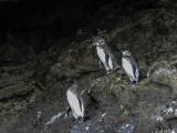 Galapagos Penguins, Isabella Island  1