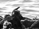 Lava Lizard on Marine Iguana, Fernandina Island  1