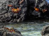 Sally Light-foot Crabs, Santa Cruz Island  2