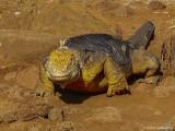 Land Iguana, North Seymour Island  4
