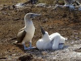 Blue-footed Boobys, North Seymour Island  2