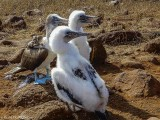 Blue-footed Boobys, North Seymour Island  5