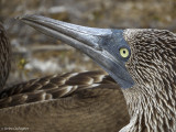 Blue-footed Booby, San Cristobal Island  12