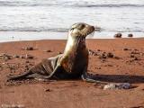 Galapagos Sea Lion, Rabida Island  4