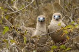 Red-footed Bobbys, North Seymour Island  1