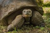 Galapagos Giant Tortoise,  Santa Clara  10
