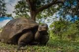 Galapagos Giant Tortoise,  Santa Clara  14