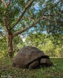 Galapagos Giant Tortoise,  Santa Clara  17