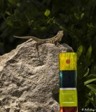 Curly-Tailed Lizard  13