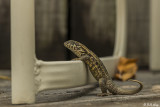 Curly-Tailed Lizard  18