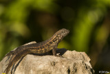 Curly-Tailed Lizard  24
