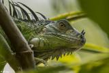 Green Iguana  40