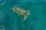 Green Sea Turtle, Marquesas Keys  1