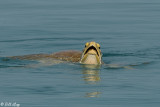 Green Sea Turtle, Marquesas Keys  4