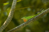 Green Anole with extended Dewlap  12