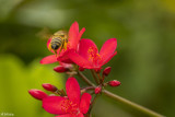 Bee on Red Flower  1