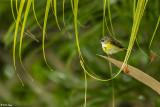 American Redstart, Female  7