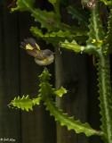 American Redstart, Female  1