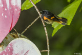 American Redstart, Male  1