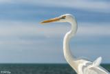 Great White Heron  8