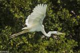 Great White Heron, Mud Keys   13